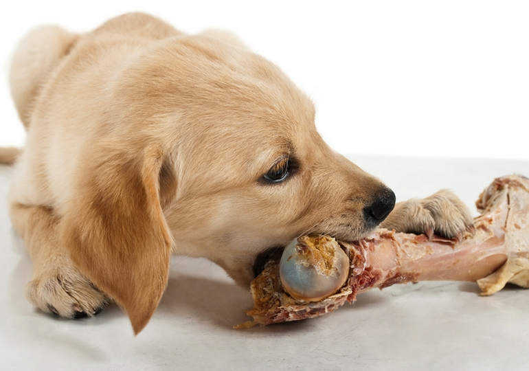 Dog Eats Or Swallows A Chicken Bone