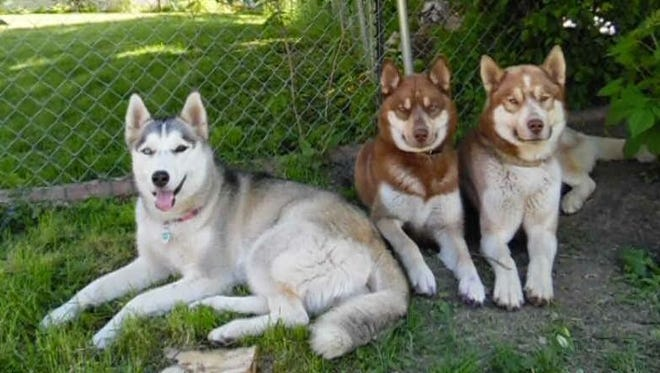 These Three Huskies Are The Cutest Escape Artists You'll Ever See