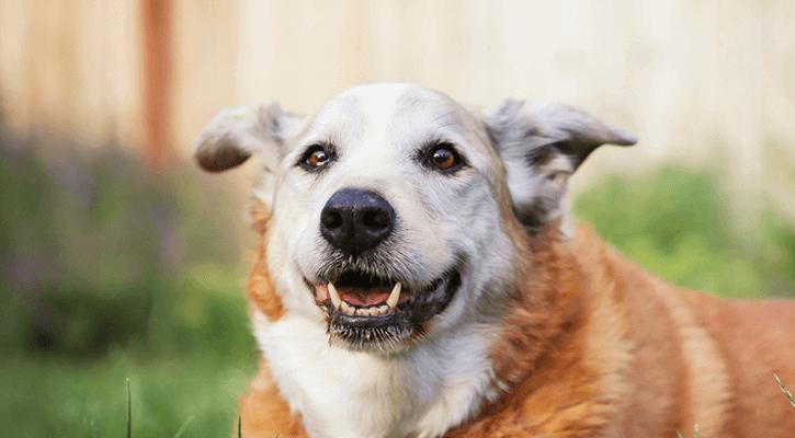 4 Ways to Keep Your Senior Dog Healthy