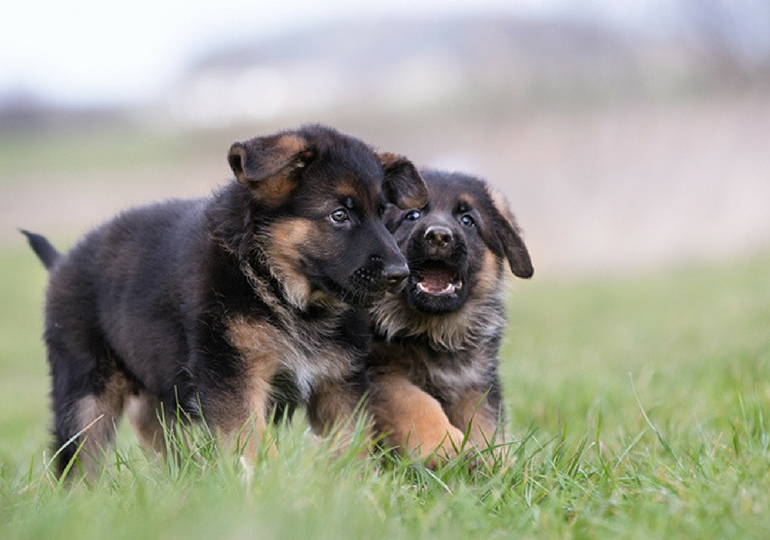 The Best Names For Your German Shepherd Dog