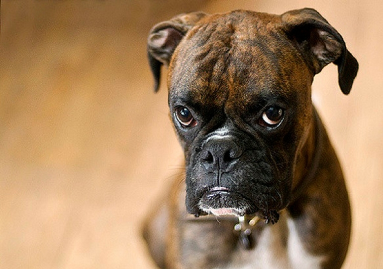 Science Tells Us What Dogs Actually Mean When They Look Guilty