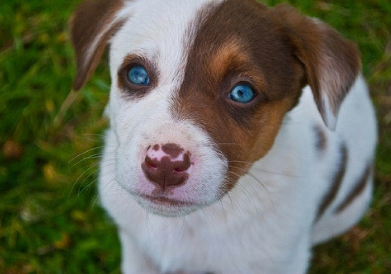 Dog Breeds That Can Have Blue Eyes