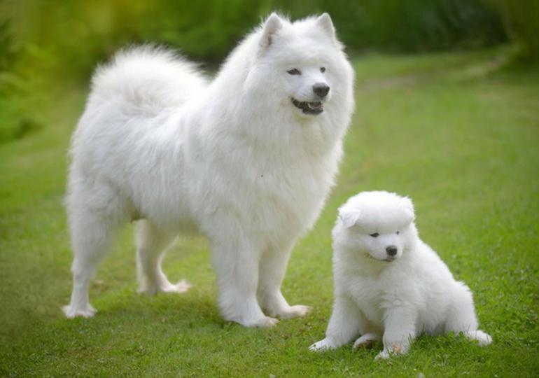 top fluffiest dog breeds