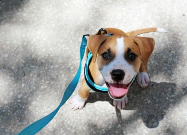 Teaching Your Puppy to Walk on a Leash